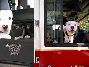 Cachorro Se Convierte En Perro Mascota De Una Unidad De Bomberos