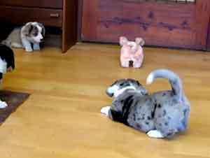 Esto 7 Cachorritos Entrenan Desde Pequeños Para Aprender Como Ser Perros Pastores…