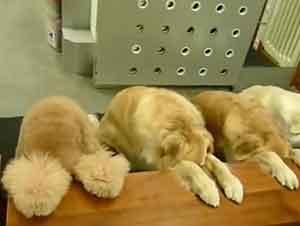 Estos Perros Tiene Más Paciencia Y Buenos Modales Que Muchas Personas… ¡¡Que Gran Trabajo De La Señora Qie Los Entrenó!!