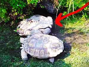 Estas Pueden Ser Las Verdaderas Tortugas Ninjas… O Al Menos Unas Tortugas Muy Solidarias JAJAJAJAJA