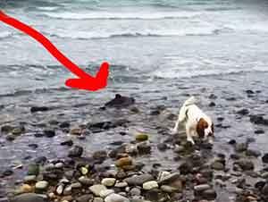 Perro Ladra Para Llamar La Atención De Su Dueño Y Señalar Que Habia Un Delfin Atorado Entre Las Piedras