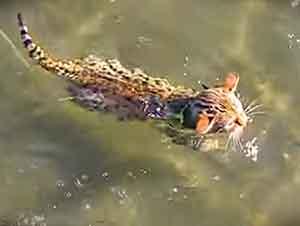 Gatito Nadando En La Playa Con Su Familia Que No Lo Puede Creer