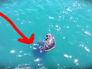 Nutria De Mar Bebé Se Reune con Su Mamá