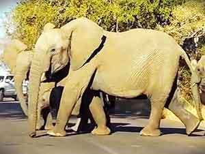 Elefantes Detienen El Trafico Por una Razón Increible