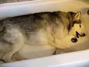 Berrinche De Un Perro Te Dejará Riendo Todo El Día
