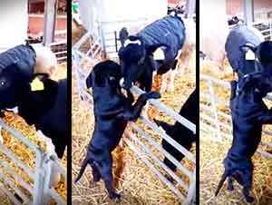 Vaca Le Da Muchos Besos A Un Perrito