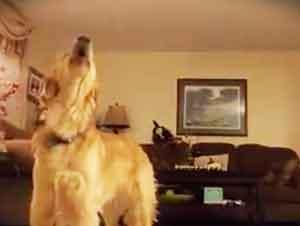 Mascota Golden Retriver Canta Opera En La Casa