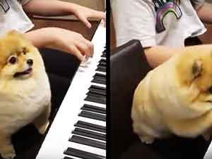 Perrita Sabe Bien Como Tocar El Piano