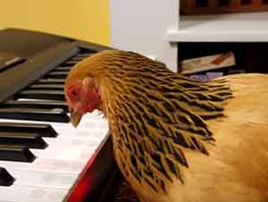 "Gallina Toca La Canción De ""America the Beautiful"" En El Piano"