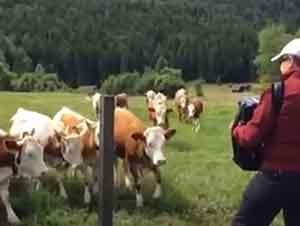 Vacas Que Escuchan Música