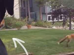 Zorro Juega Con Juguetes De Un Perro