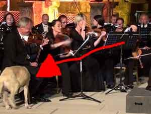 Perro Se Relaja Enfrente De Todos En La Orquestra