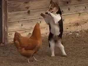 Un Perro, Una Gallina y Un Pato