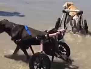 Perros En Silla De Ruedas Disfrutan De La Playa